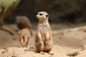 A lone meerkat looking around